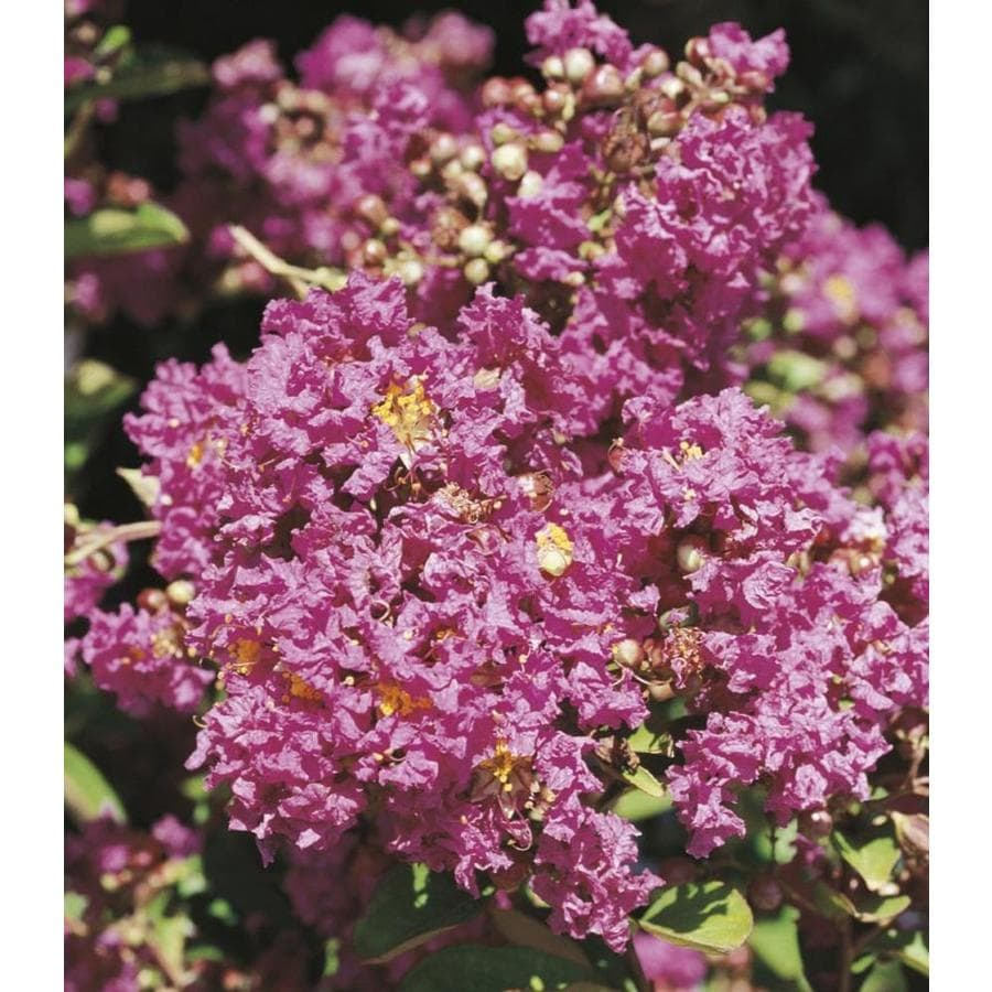 2.25-Gallon Pink Plum Magic Crape Myrtle Flowering Shrub (L24799)