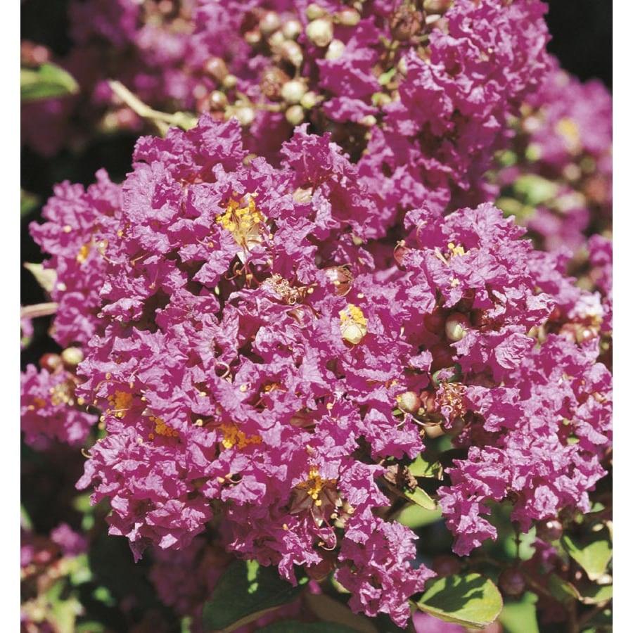 5.5-Gallon Pink Plum Magic Crape Myrtle Flowering Shrub (L24799)