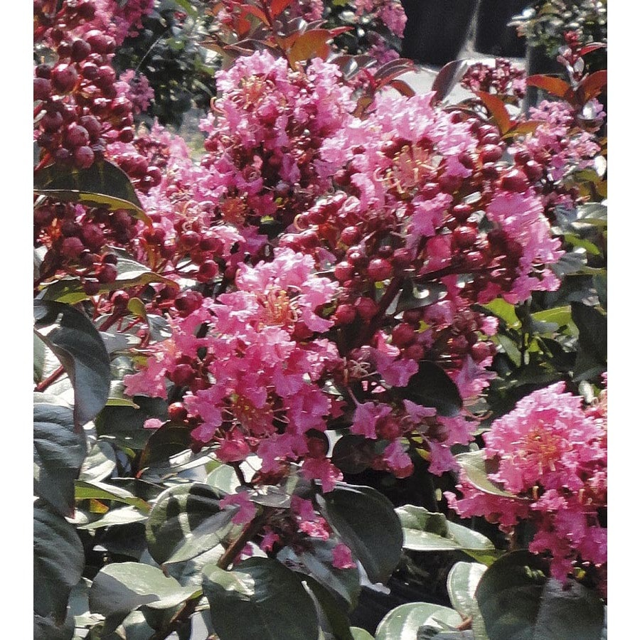 2.25-Gallon Pink Coral Magic Crape Myrtle Flowering Shrub (L24798)
