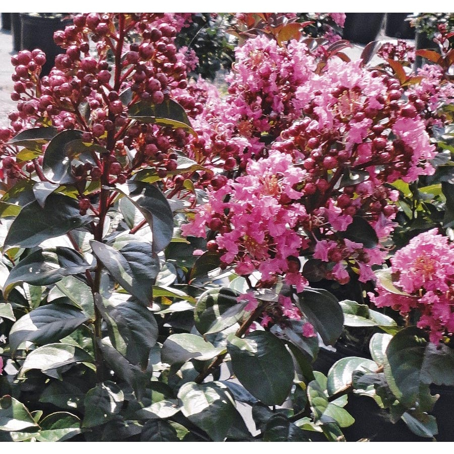 5.5-Gallon Pink Coral Magic Crape Myrtle Flowering Shrub (L24798)