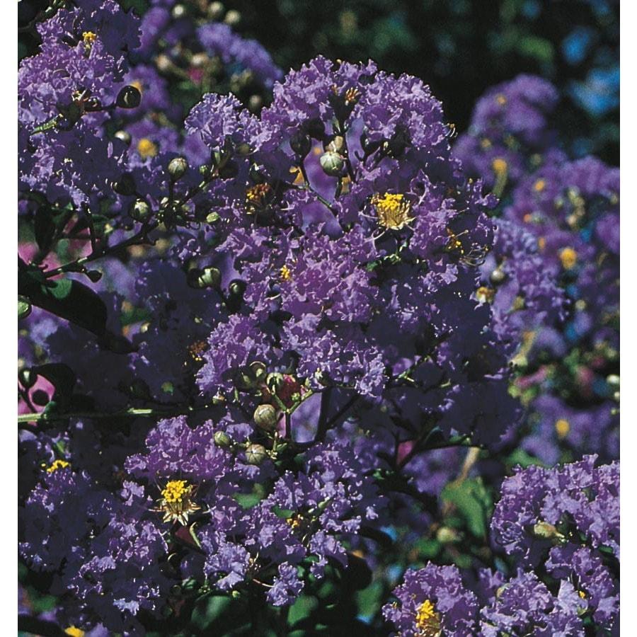 2.25-Gallon Purple Magic Crape Myrtle Flowering Shrub (L24800)
