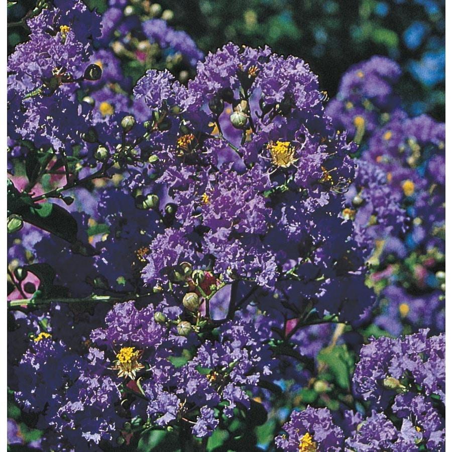 5.5-Gallon Purple Purple Magic Crape Myrtle Flowering Shrub (L24800)
