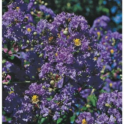 Purple Purple Magic Crape Myrtle Flowering Shrub In Pot
