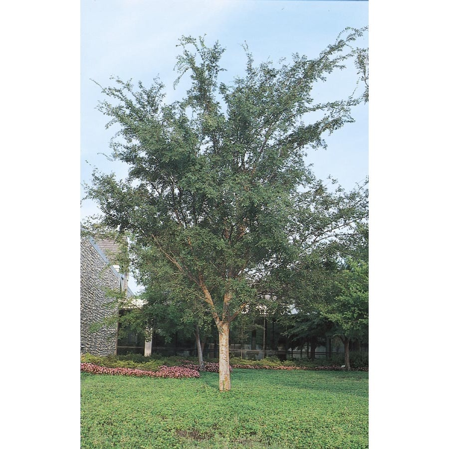 28.5-Gallon Drake Elm Shade Tree (L4612)