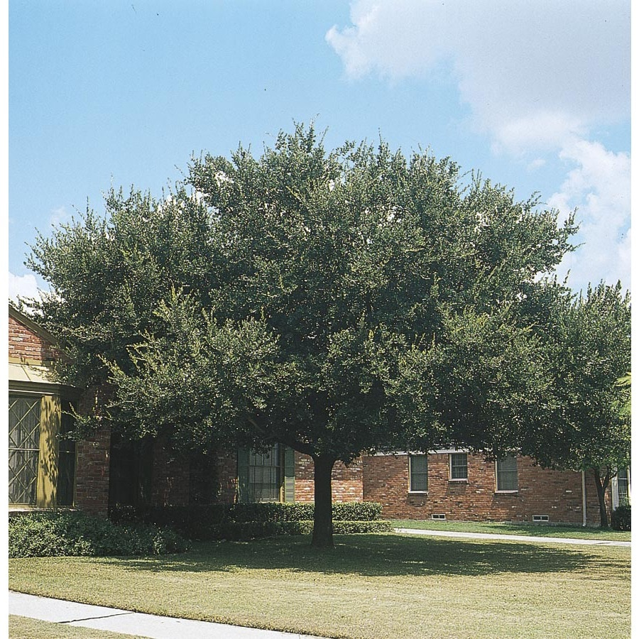 Shop 27 5 Gallon Live Oak Shade Tree L3670 At Lowes Com