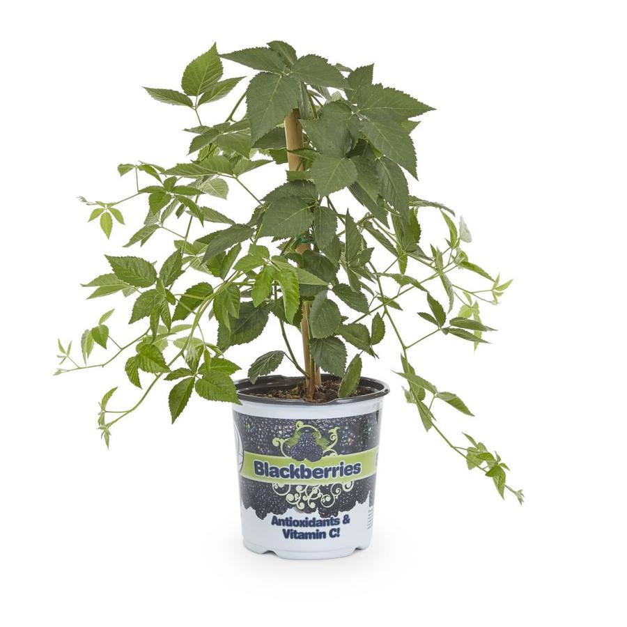 1-Gallon Blackberry Small Plant (L5825)