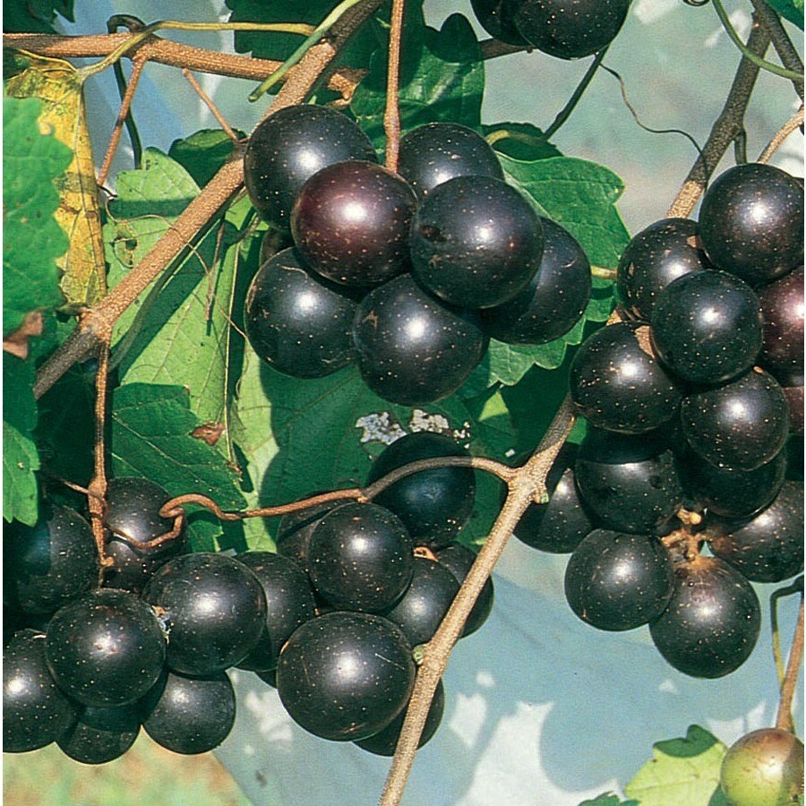1-Gallon Southern Home Muscadine Grape Small Fruit (L21246)