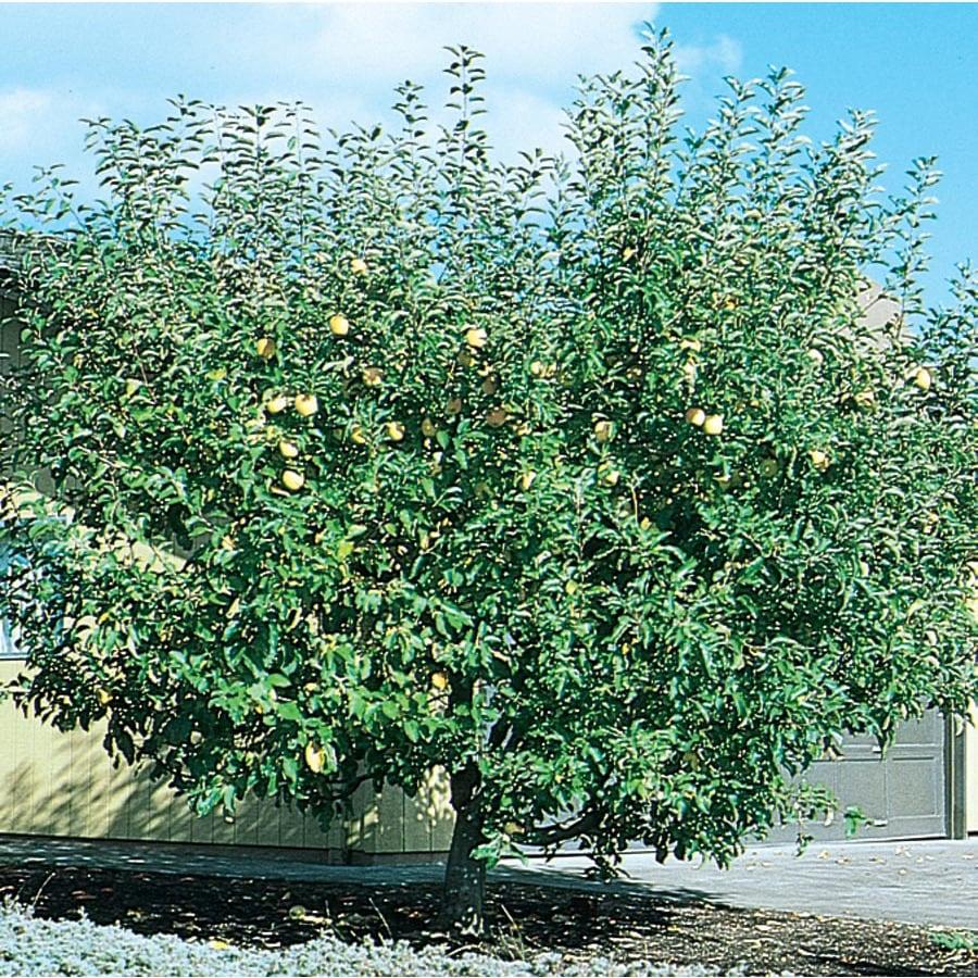 3.25-Gallon Semi-Dwarf Apple Tree (L5967)