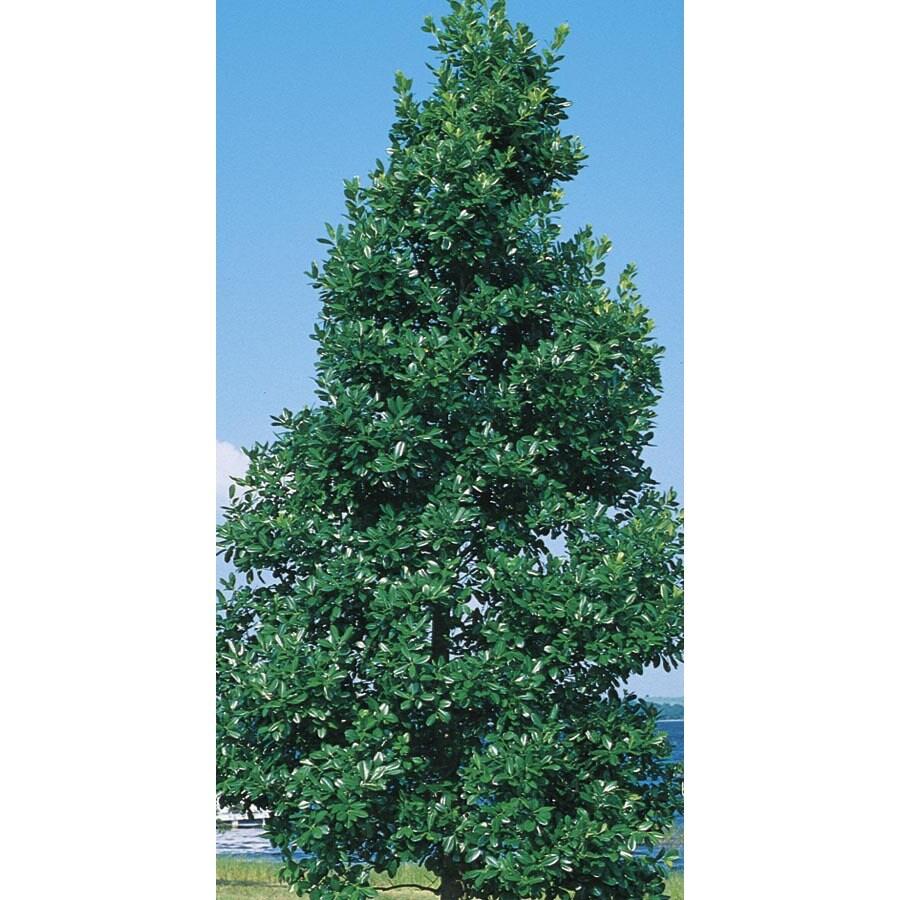 10.25-Gallon East Palatka Holly Feature Shrub (L8606)