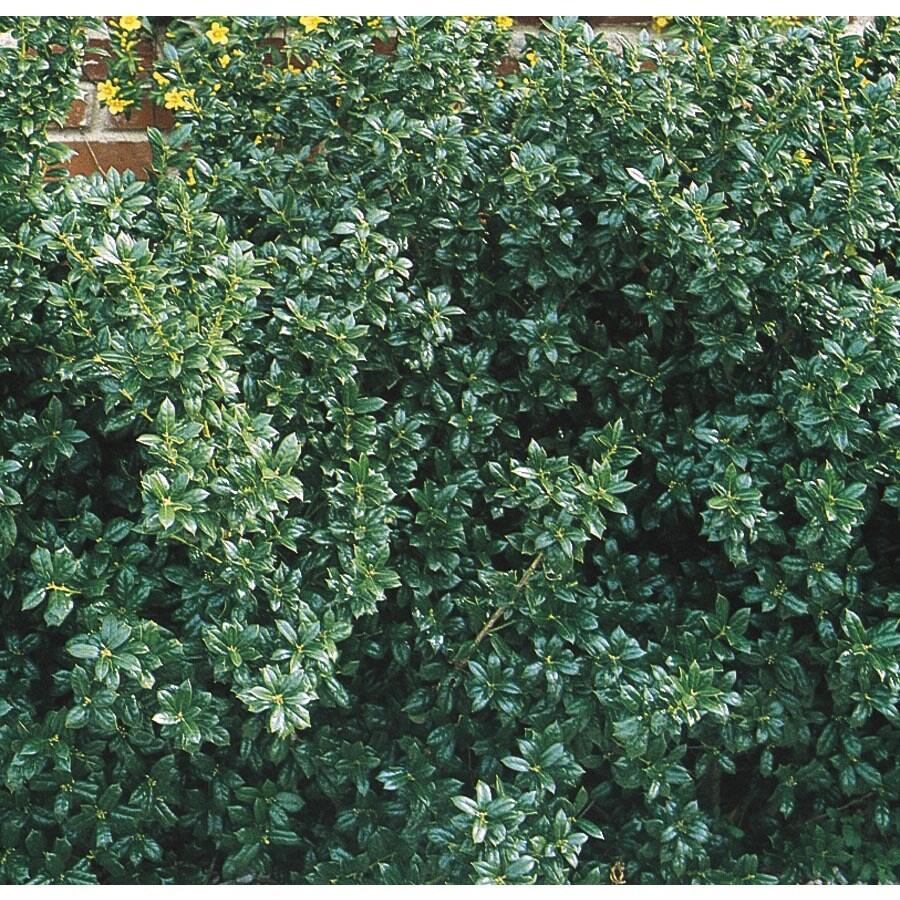 5.5-Gallon Dwarf Burford Holly Foundation/Hedge Shrub (L7074)