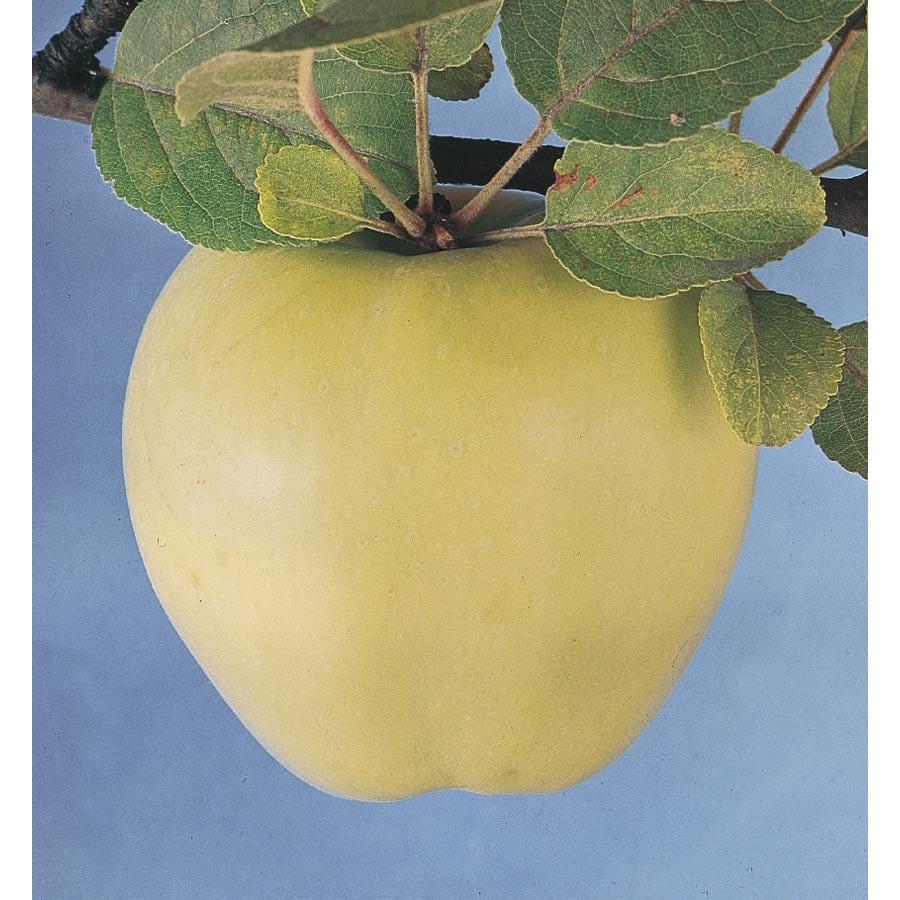 3-Gallon Lodi Dwarf Apple Tree (L5381)