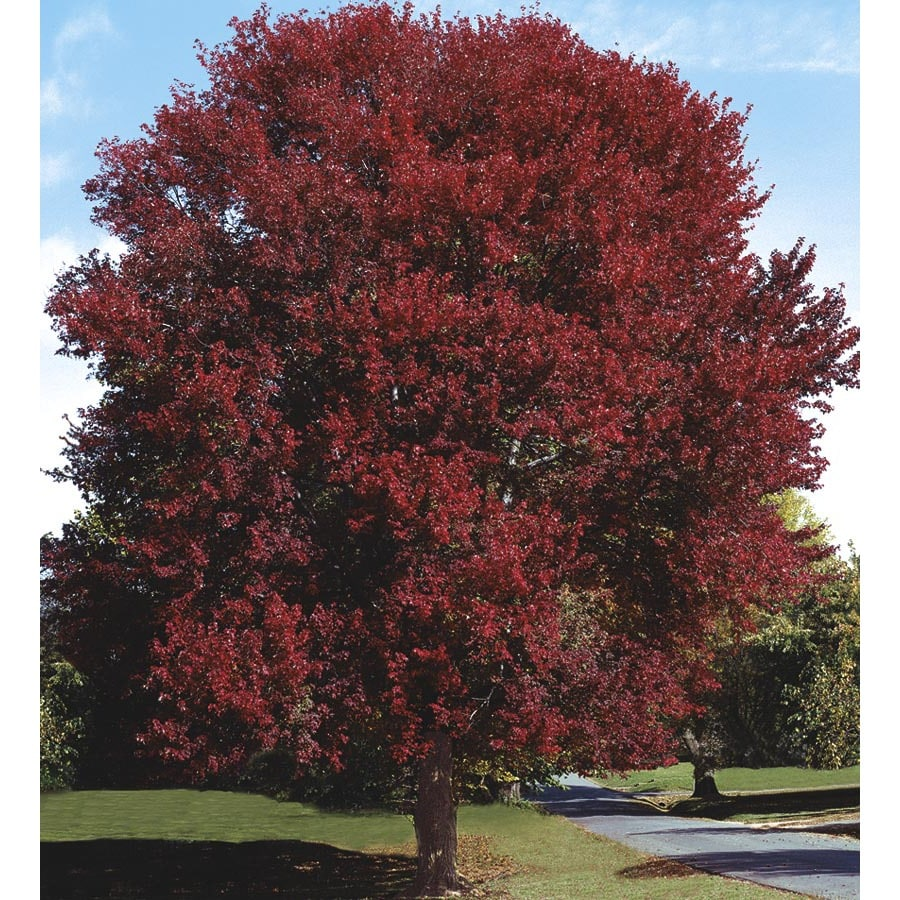10.25-Gallon Burgundy Belle Maple Shade Tree (L2079)