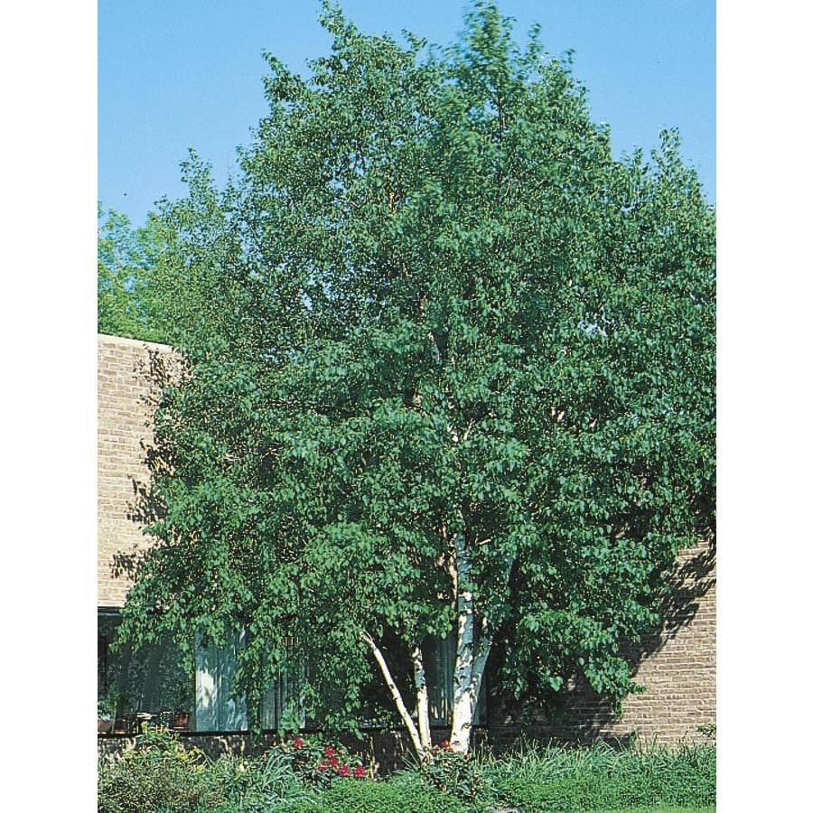 3.25-Gallon Heritage Clump River Birch Feature Tree (L5406)