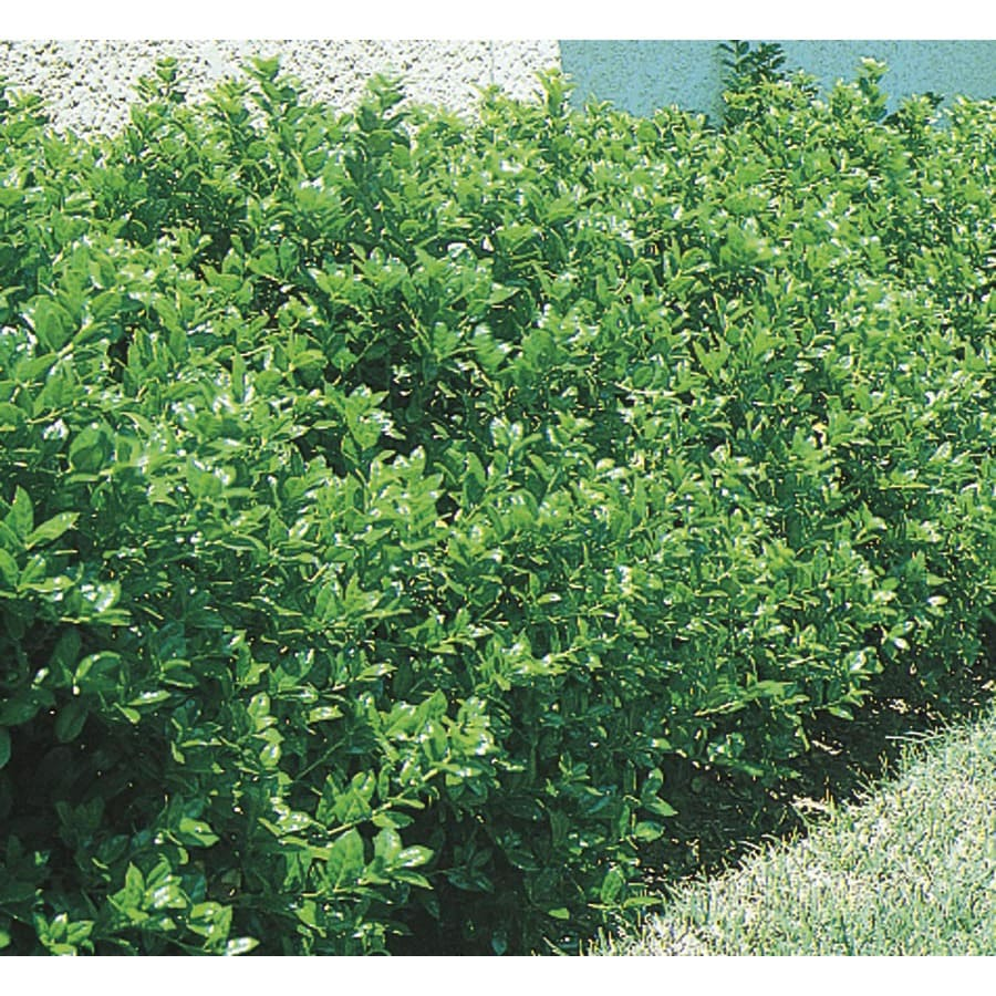 Burford Holly Foundation Hedge Shrub In Pot With Soil