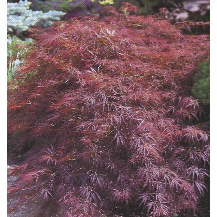 5.5-Gallon Burgundy Lace Japanese Maple Feature Tree (L1116)