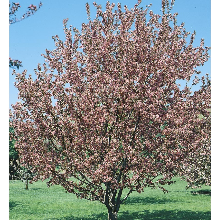 3.25-Gallon Flowering Crabapple Flowering Tree (L5985)