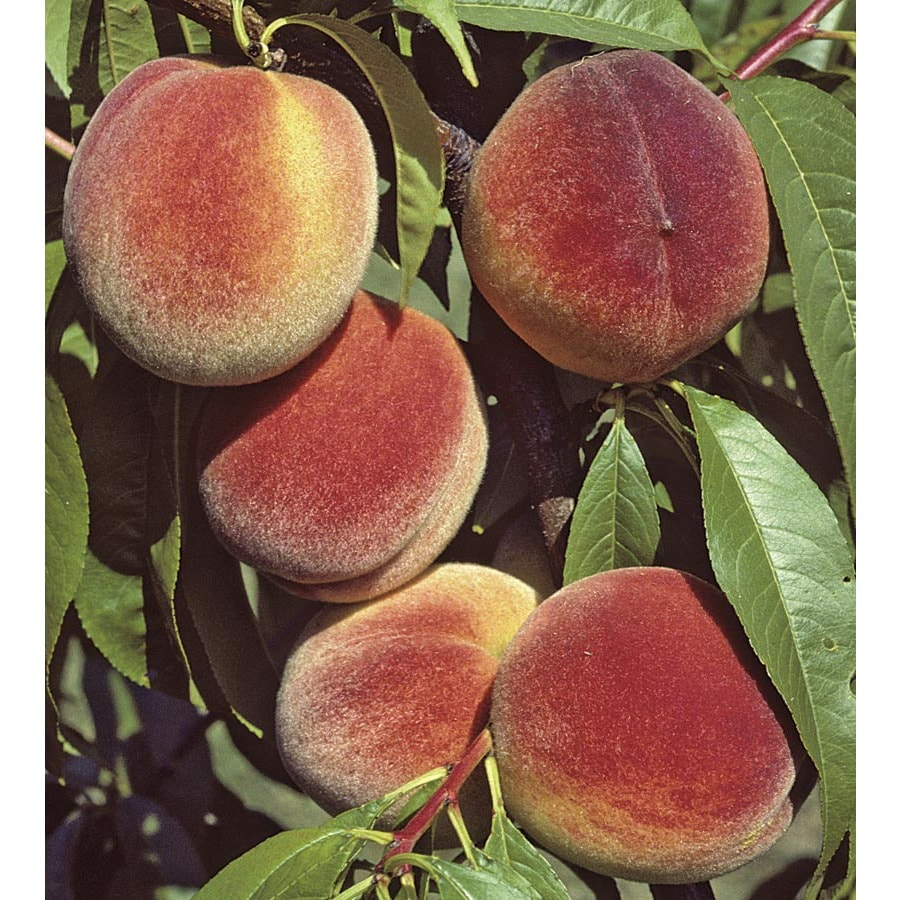 5-Gallon 3-n-1 Peach Tree (LW01502)