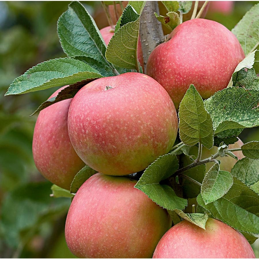 Shop 325 Gallon Pink Lady Apple Tree L26007 At Lowes