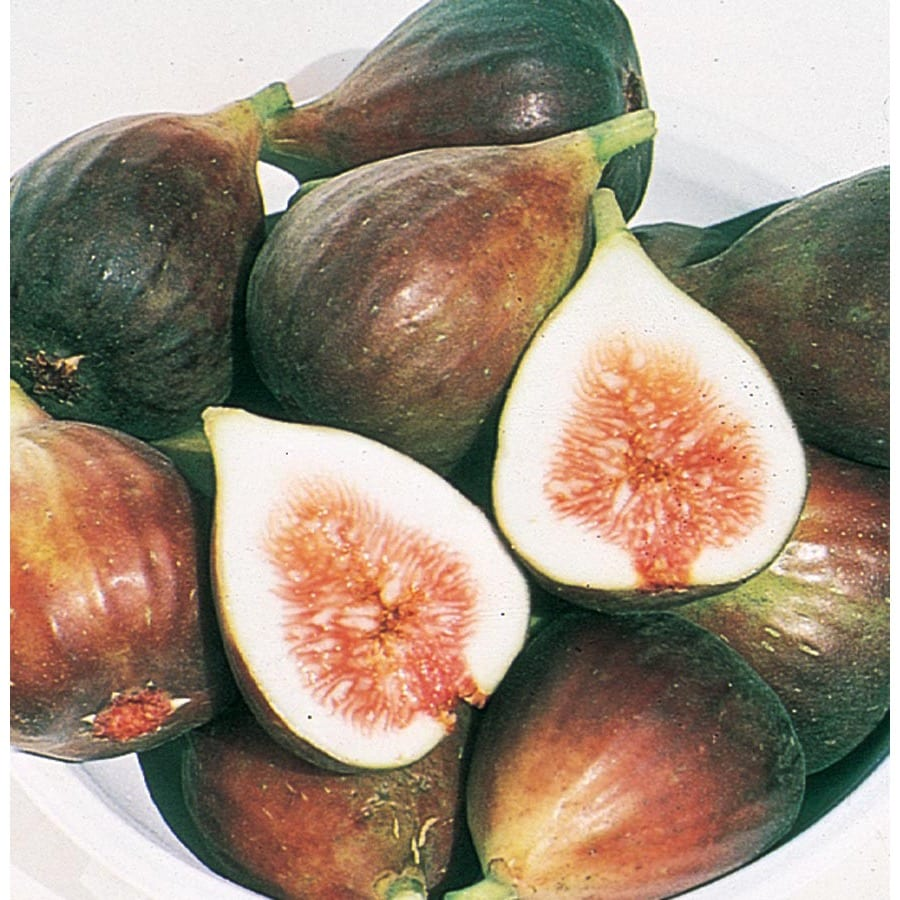 1-Gallon Chicago Hardy Fig Tree (Lw00213)
