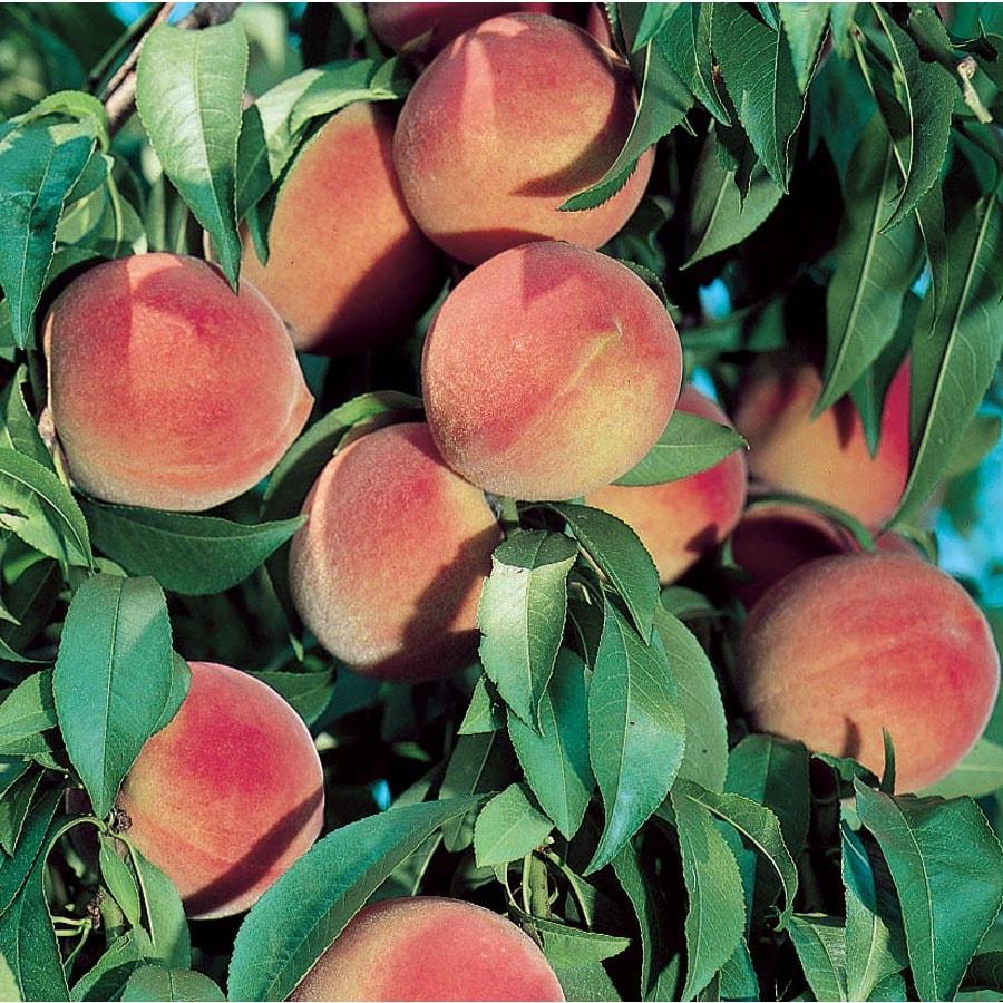 3.25-Gallon Dwarf Peach Tree (L5481)