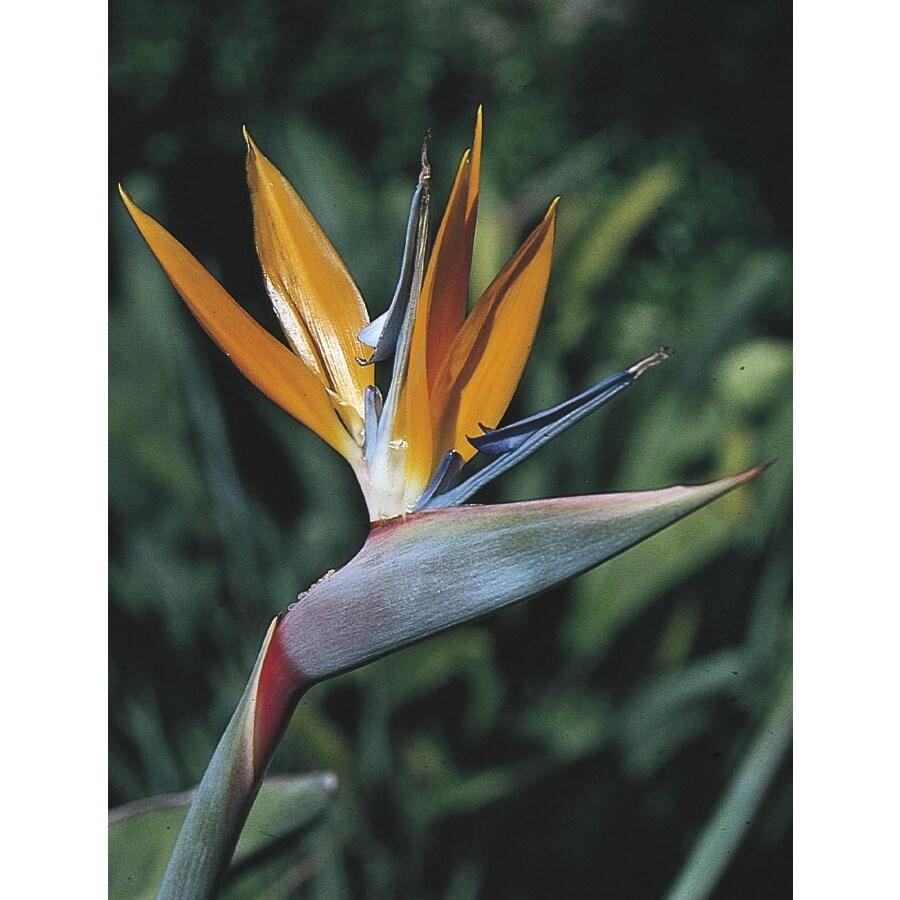 5.5-Gallon Mixed Bird of Paradise Flowering Shrub (L3068)