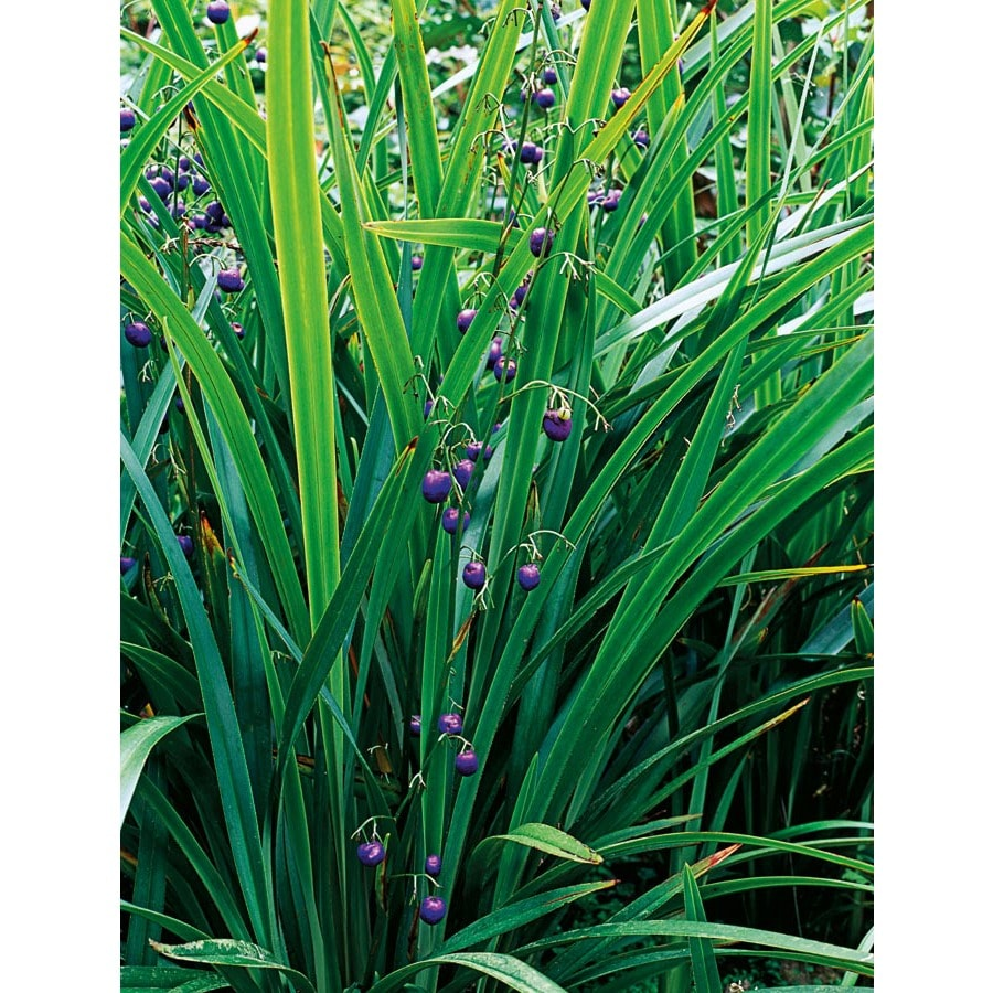 2.25-Gallon Flax Lily (L20613)