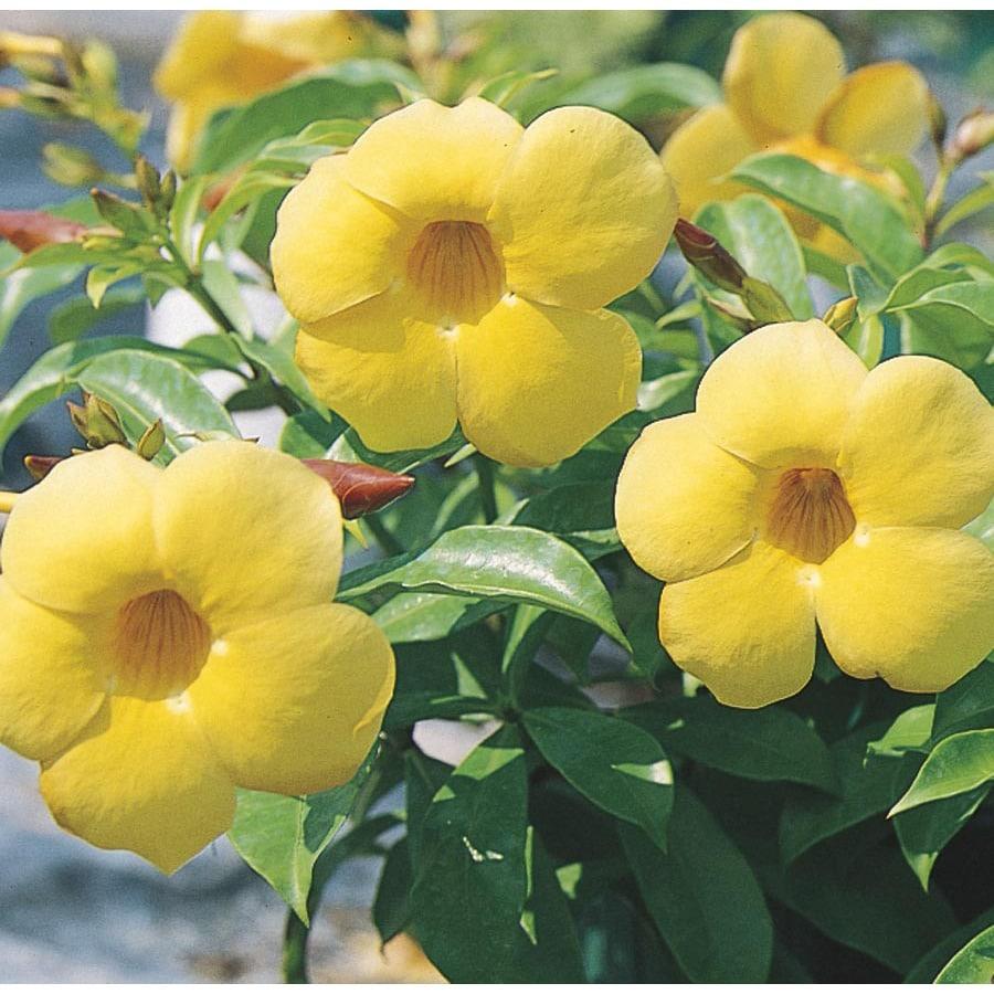 Shop Yellow Allamanda Bush Flowering Shrub In Pot With Soil L3415