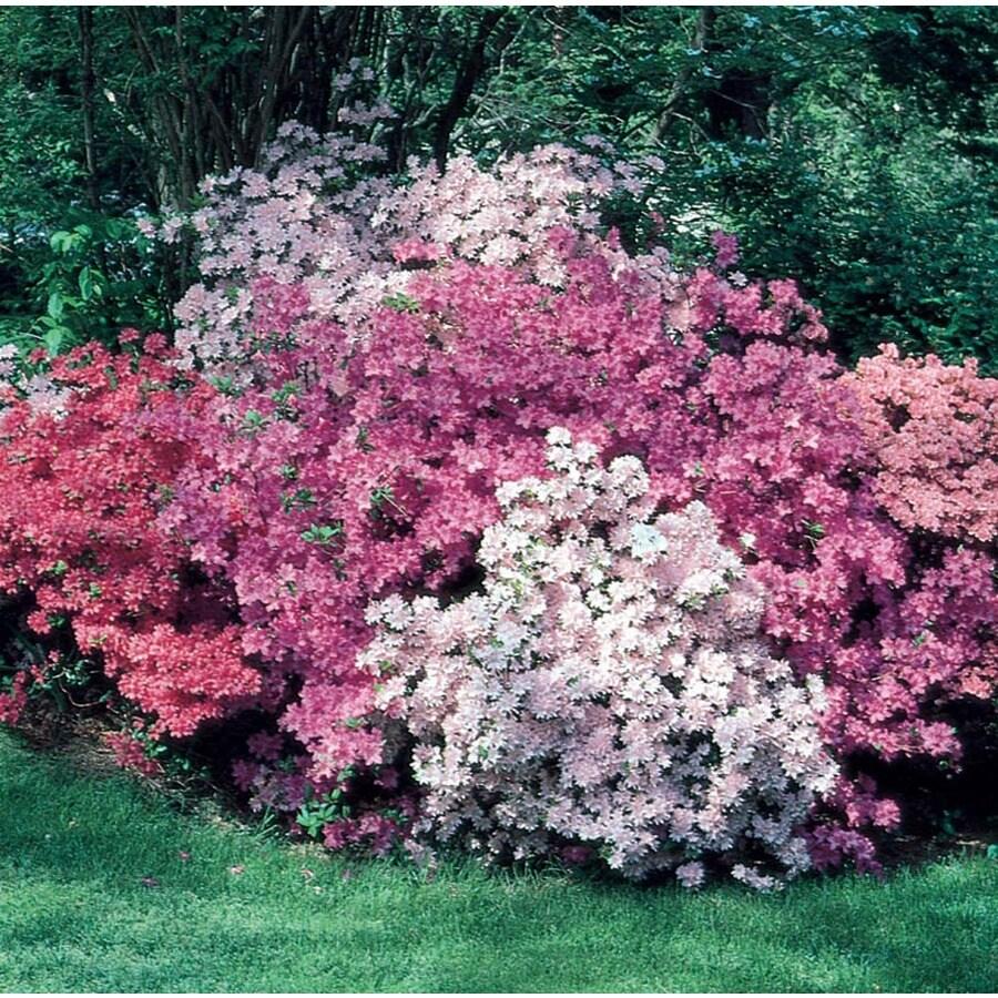 2.5-Quart Mixed Azalea Flowering Shrub (L5159)