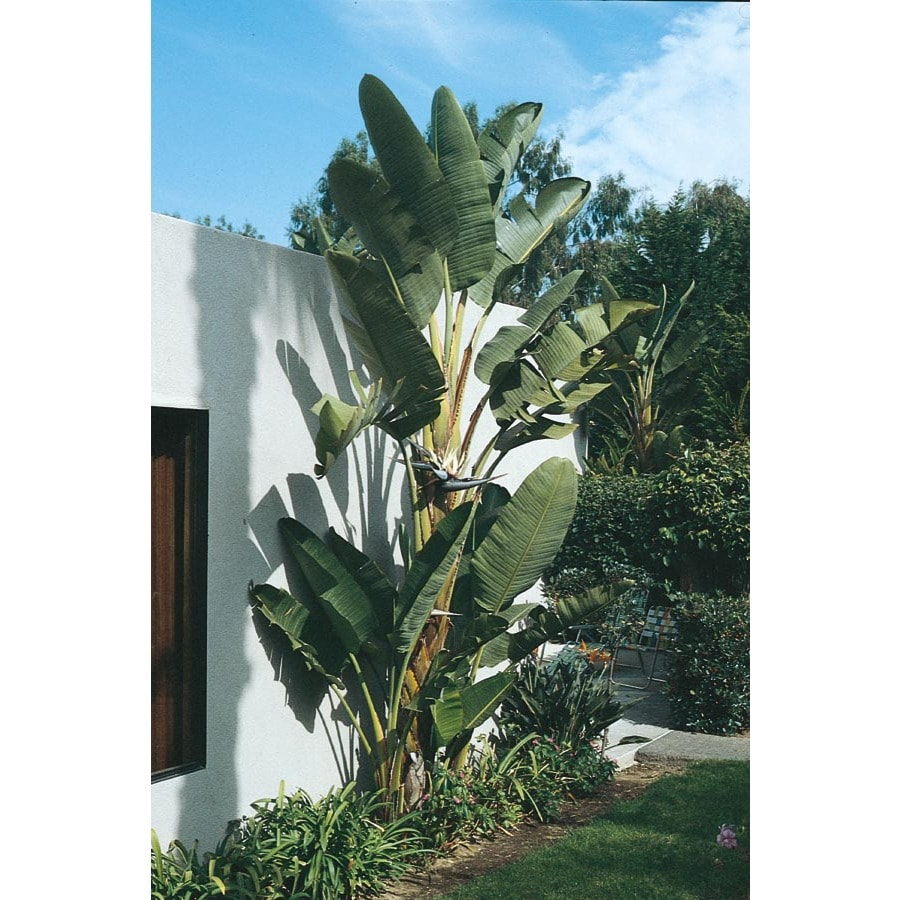 2.25-Gallon Bicolor White Bird of Paradise Flowering Shrub (L10396)
