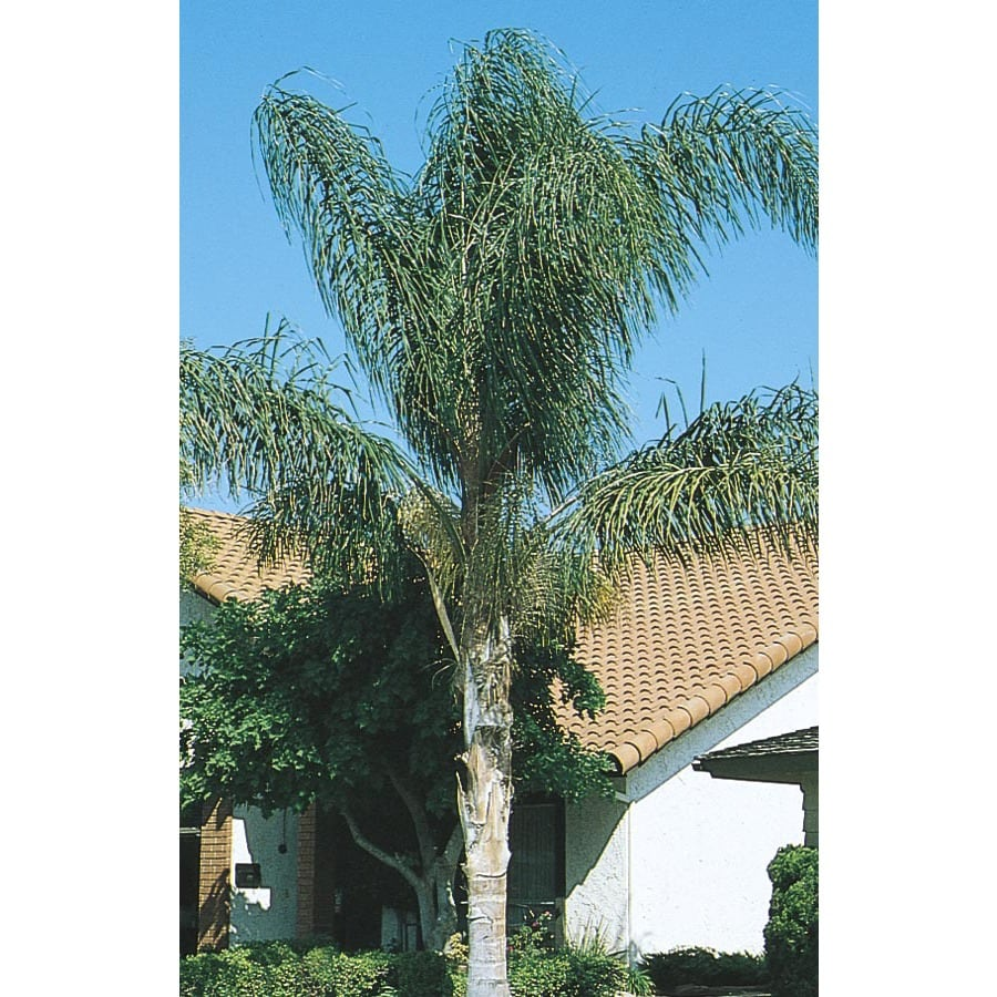 4.5-Gallon Queen Palm (L6258)