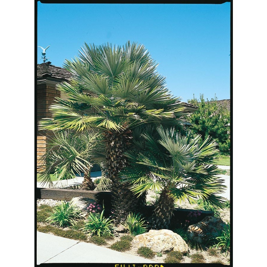 1.75-Gallon European Fan Palm (L9064)