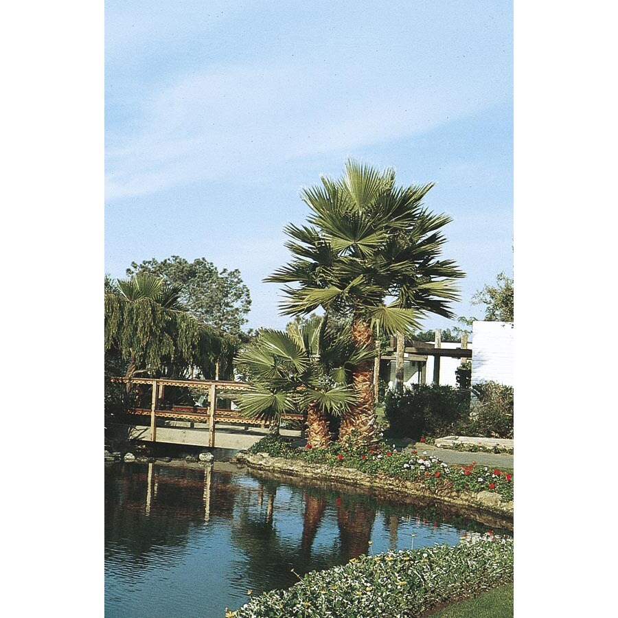 Mexican Fan Palm (L3048)