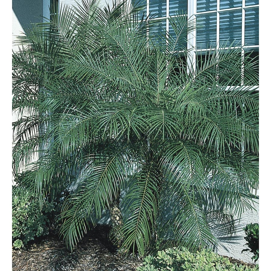 6.5-Gallon Pygmy Date Palm (LTL0059)