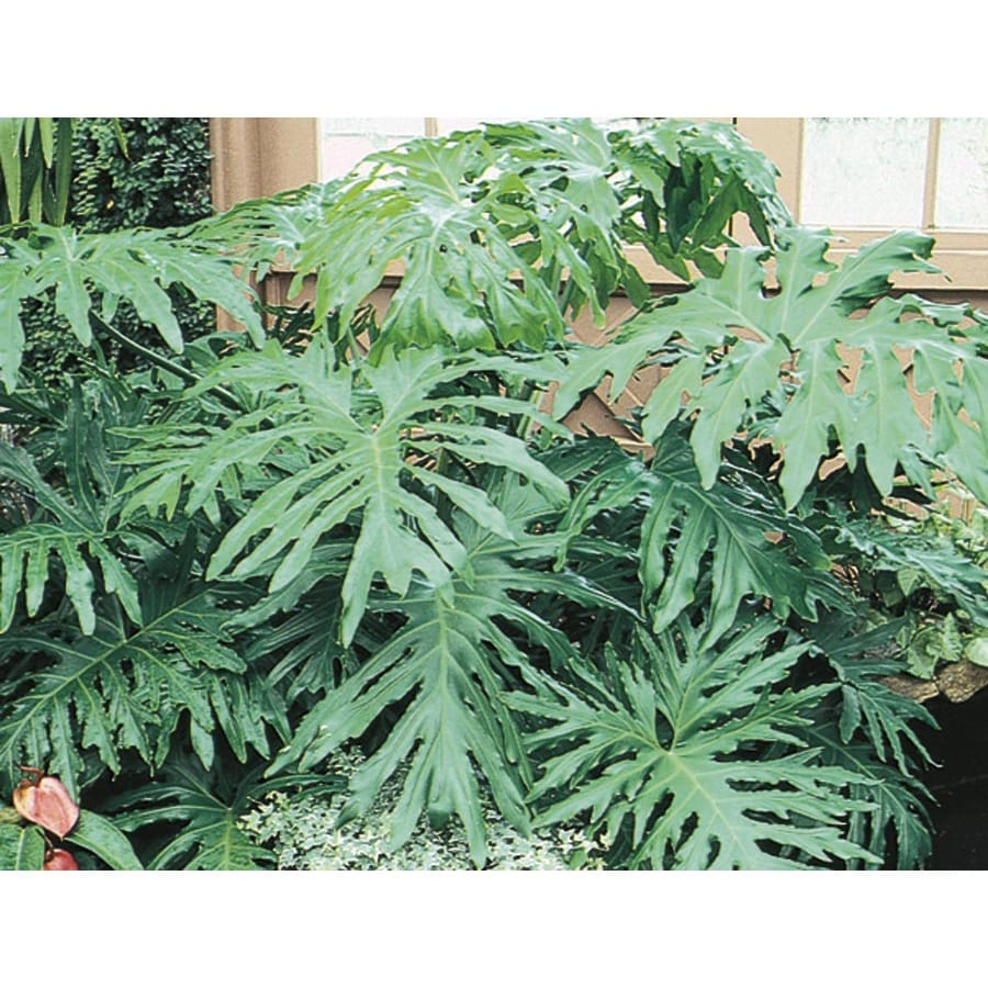 Philodendron (L3284HP)
