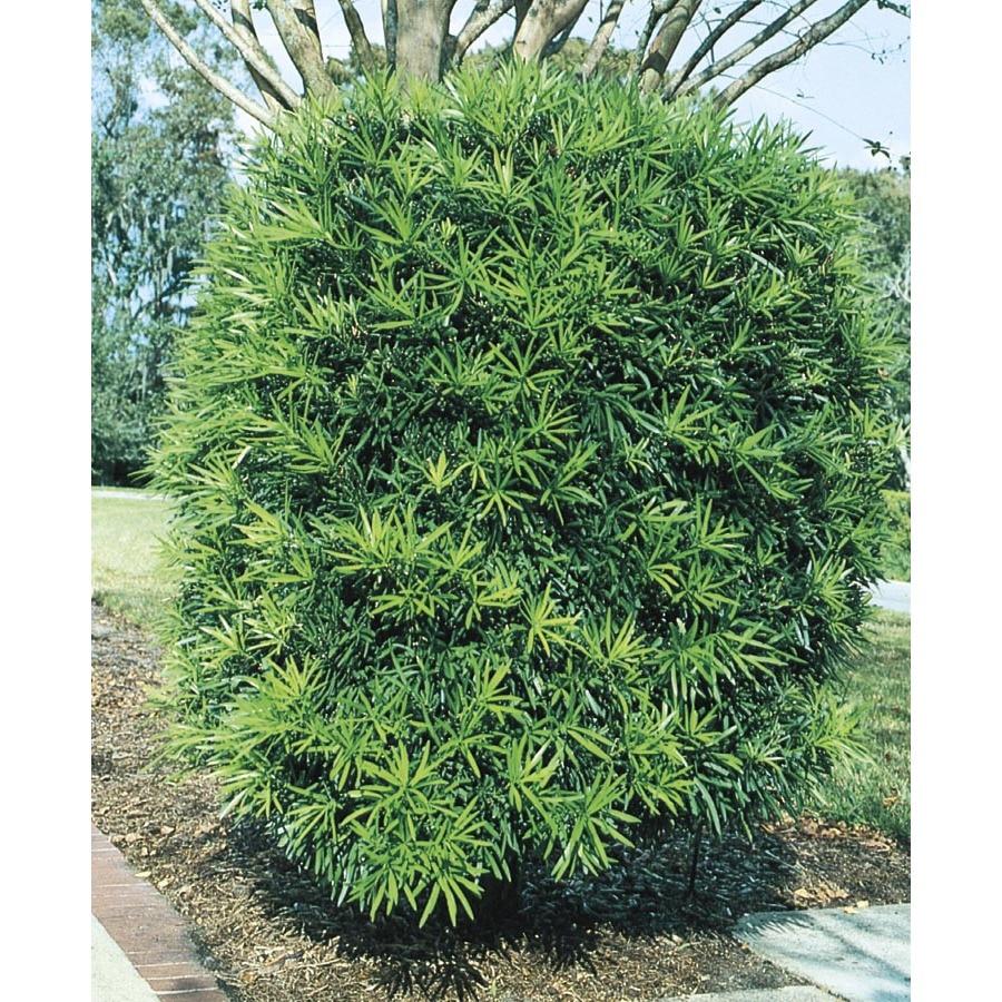 5-Gallon Podocarpus Screening Tree (L8348)