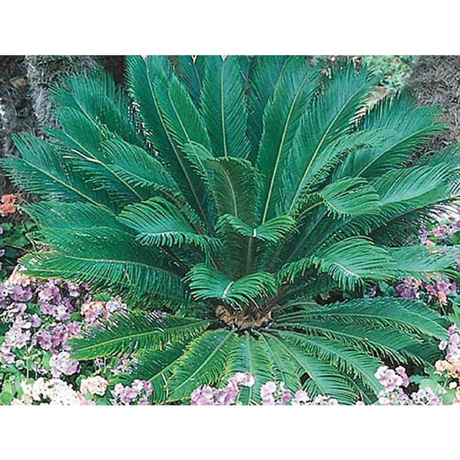 10.25-Gallon Sago Palm (LTL0026)