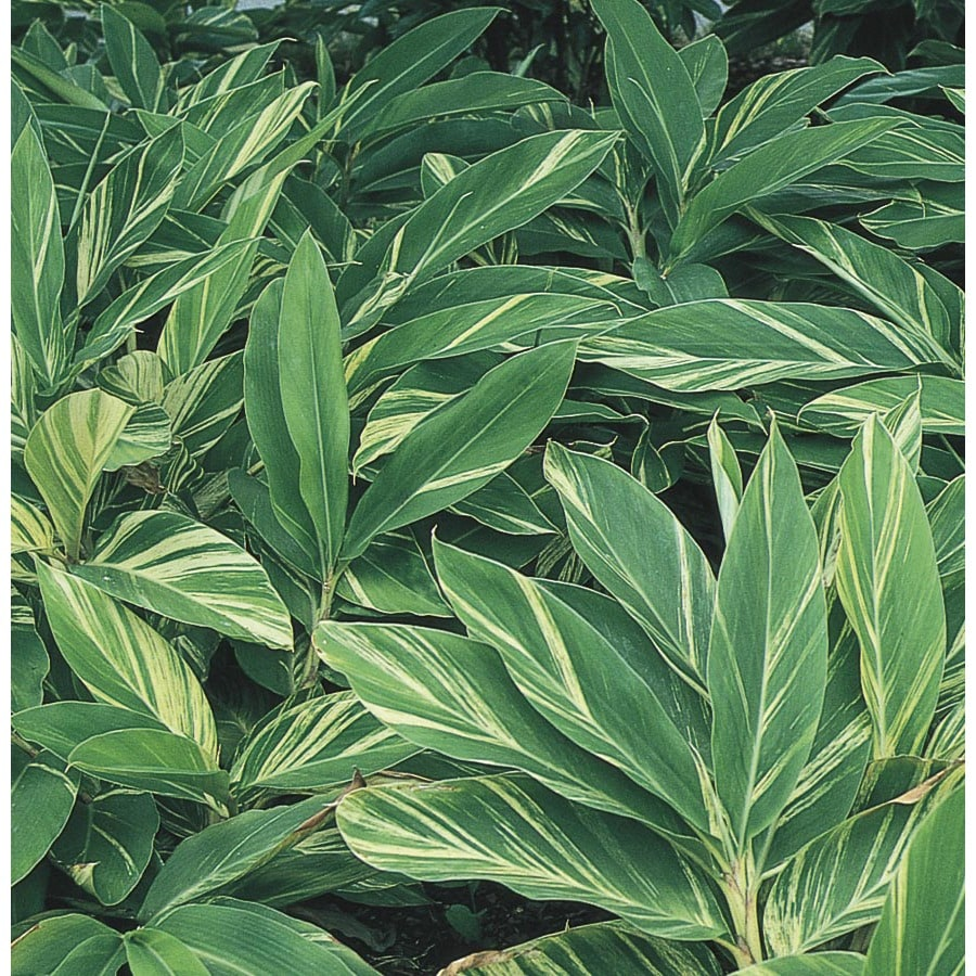 2.25-Gallon Variegated Ginger Lily (L7681)