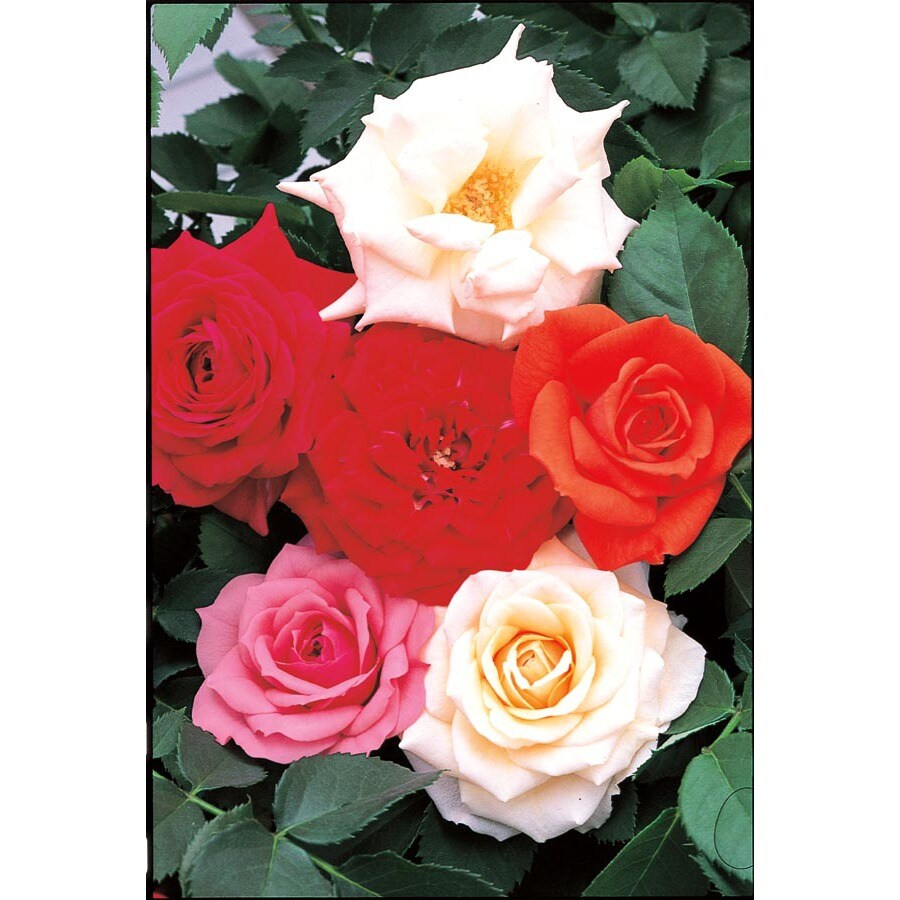 1-Quart Assorted Miniature Roses (L11449)