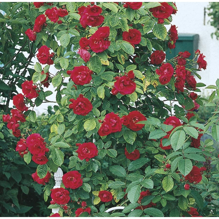 Shop 3 Gallon Climbing Rose L10152 At Lowes Com