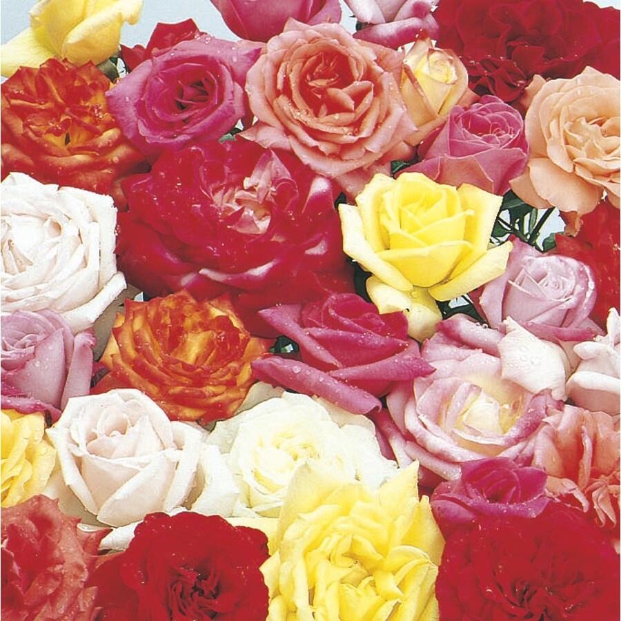 1-Gallon Rose (L6023)
