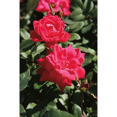 In Red Double Knock Out Rose Lw02389
