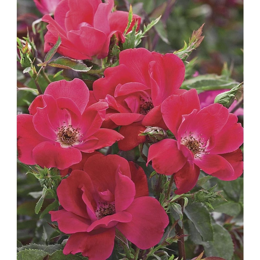 Knock Out Rose (L10923)