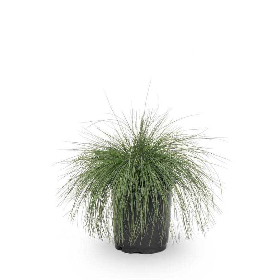 2.5-Quart Blue Fescue (L20132)