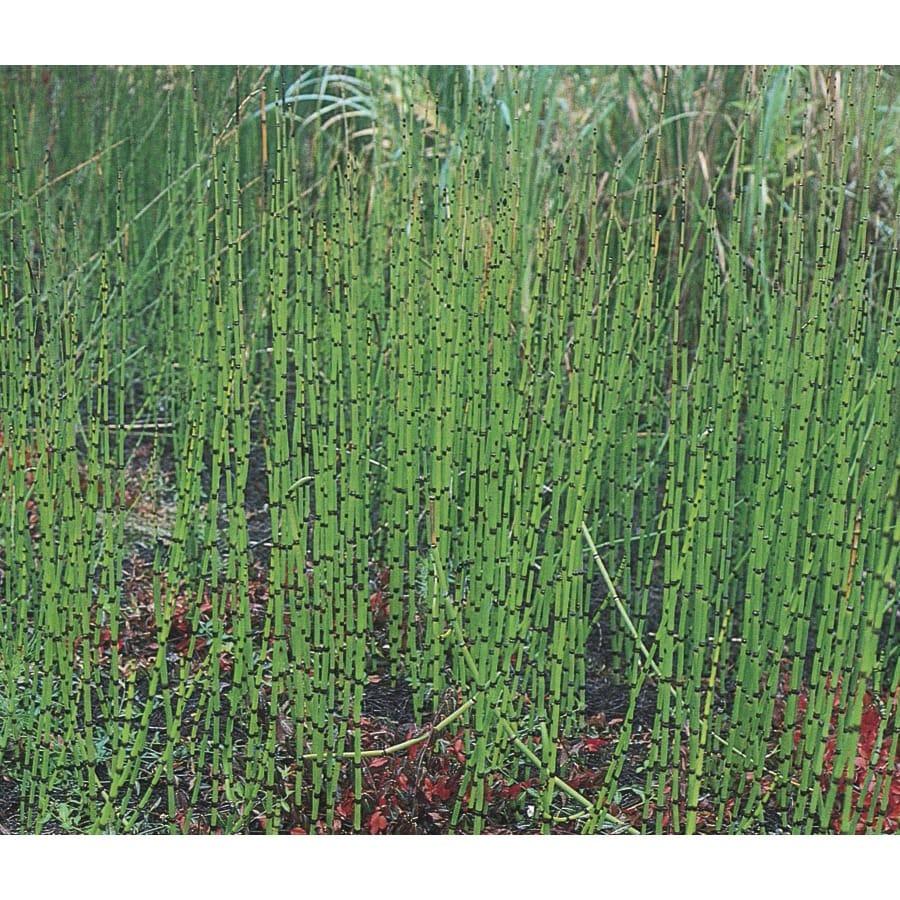 2.5-Quart Horsetail Reed (L7517)