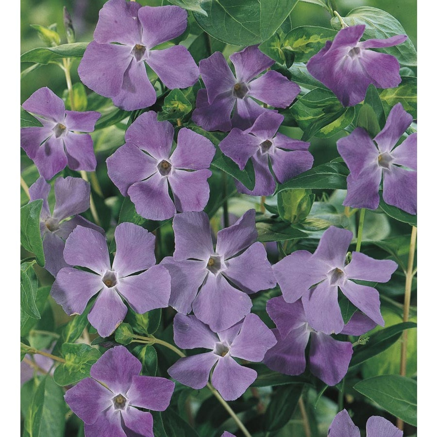 1.5-Pint Large Periwinkle (L17632)