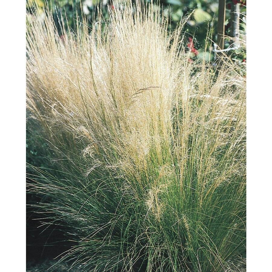 1-Quart Feather Grass (L16414)