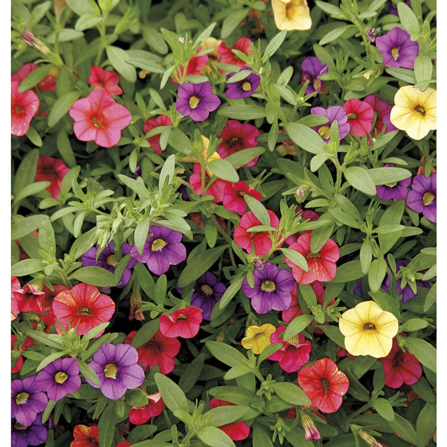 2.5-Quart Calibrachoa (L17603)