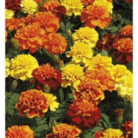 2.5-Quart Multicolor French Marigold (Dwarf) in Pot (L17086)