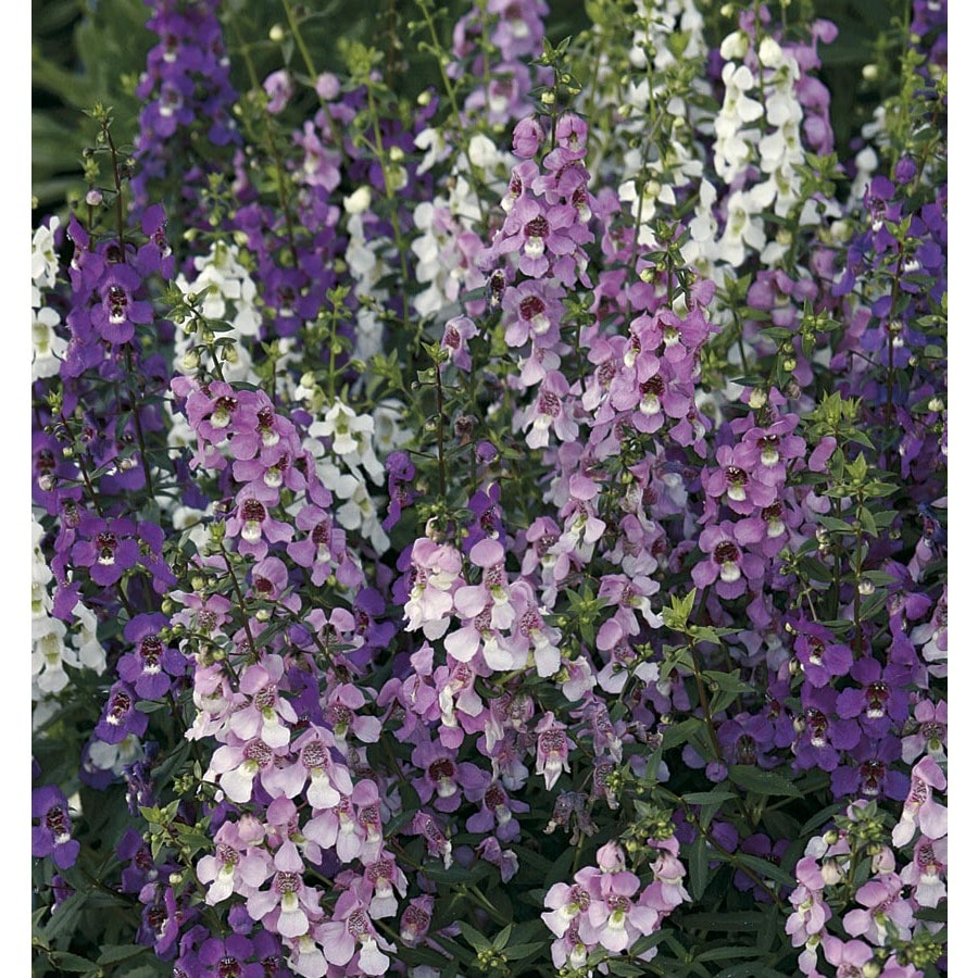 1.75-Gallon Angelonia (L10016)