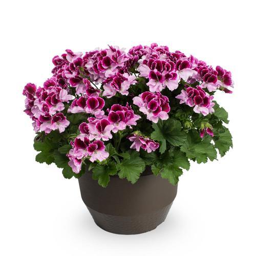 Jardini In A 75 Gallon: 1.75-Gallon Multicolor Geranium In Planter (L9583) At